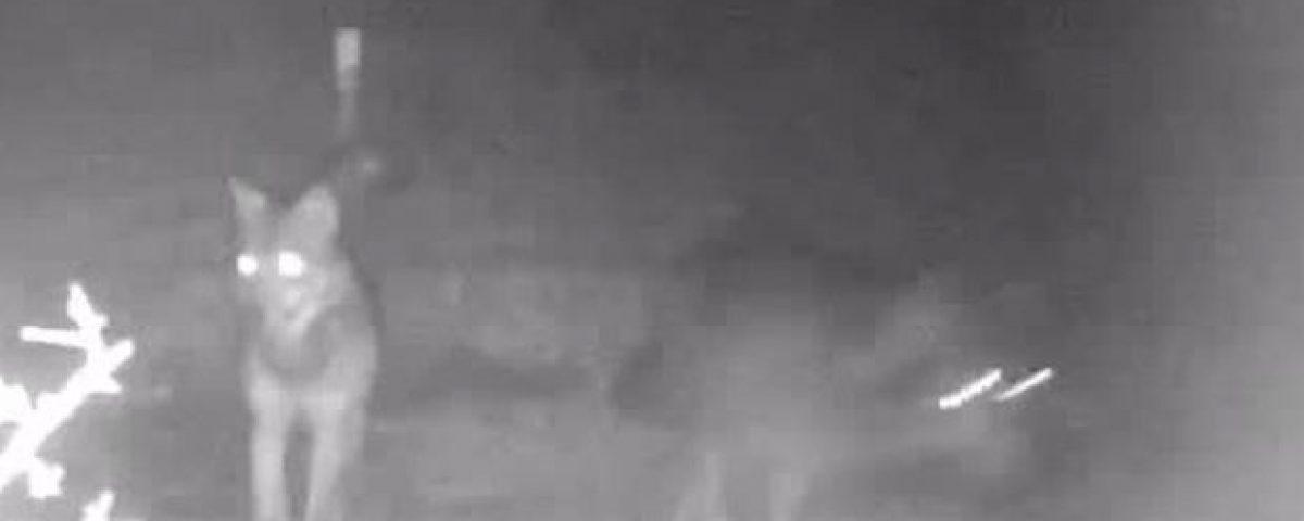 Roma, tornano i lupi nel parco di Veio: filmati tre esemplari 3579685 1648 thumbnail 1354377 1200x480