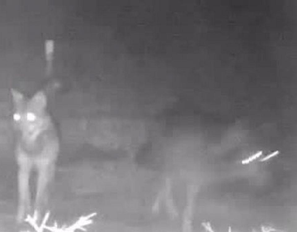 Roma, tornano i lupi nel parco di Veio: filmati tre esemplari 3579685 1648 thumbnail 1354377 960x750